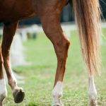 Can CBD Oil Be Helpful for Arthritis in Horses?